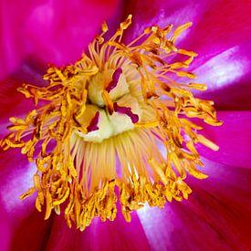 closeup van een roos van W J Kok