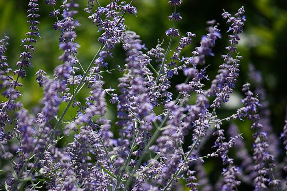 lavender van Meleah Fotografie