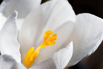 Makro von weißem Krokus von Mister Moret Photography
