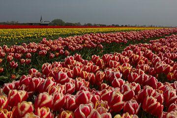Bloembollenteelt (tulpen) aan de Waddenzeedijk van