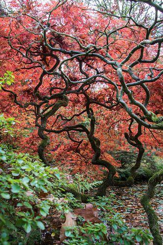 Japanse bomen in Nederlandse grond. van