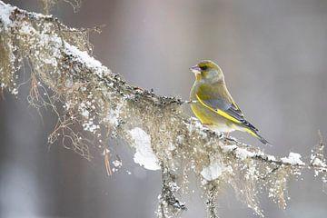 Greenfinch, Chloris chloris sur Gert Hilbink