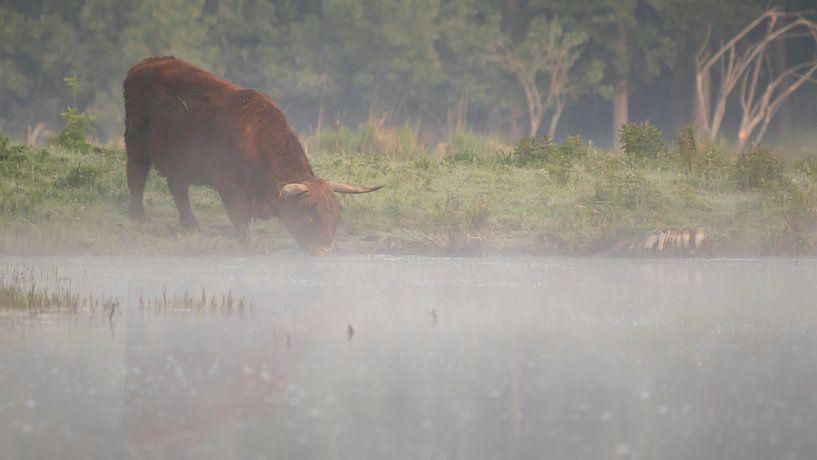 Schotse hooglander drinkt uit beneveld meer van Bas Ronteltap