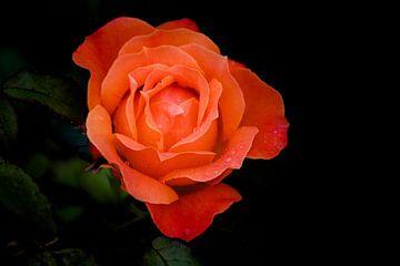 Rode Roos van Marjan Kooistra