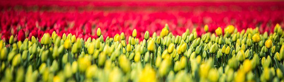Hollandse Tulpen van Alex Hiemstra