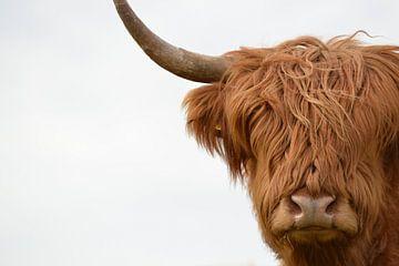Schotse hooglander kop van Sascha van Dam