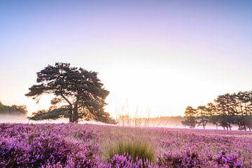 Bloeiende hei tijdens zonsopgang in de zomer van Sjoerd van der Wal
