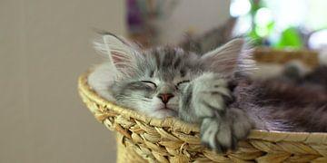 Schlafendes Katzenjunges/ Entspanntes Katzenbaby von Thomas Wagner