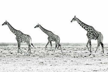 Giraffen in Namibia van Britta Kärcher