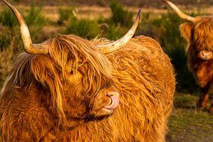 Schotse hooglander met tong in de neus van Ramon Van Gelder