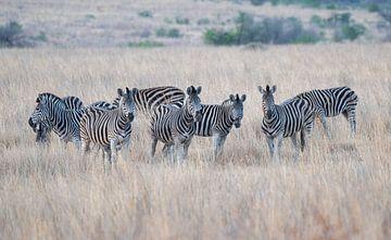 Zebra's van Joop Bruurs