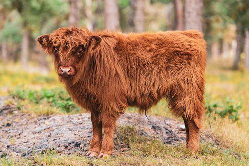 Schotse Hooglanders kalf in het Veluwse natuurgebied