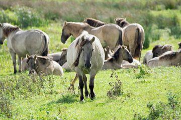 Koniks paarden in de Biesbosch van Judith Cool