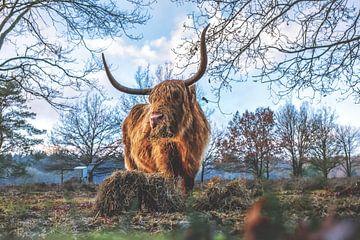Schotse hooglander Cora aan het eten van Miranda Heemskerk