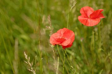 2 rote Mohnblumen im grünen Feld von Olena Tselykh