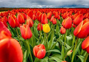 Rote Tulpen 2020 J von Alex Hiemstra
