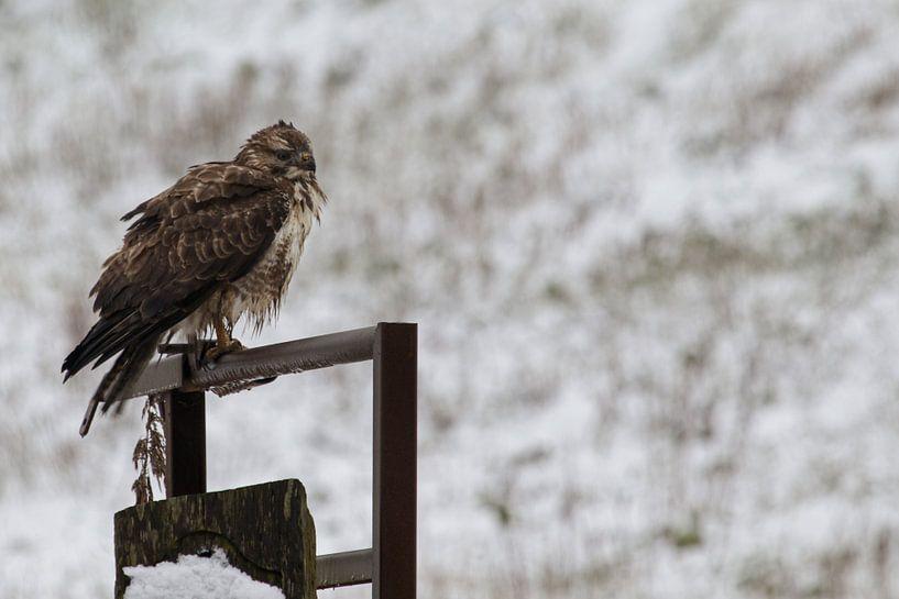 Buse dans la neige sur Anjo ten Kate