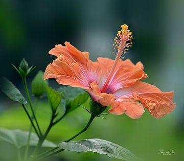 Hibiscus in de zomer (Hibiscus rosa-sinensis)