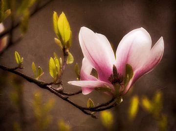 Fleur de magnolia sur