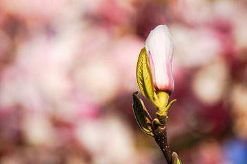 Magnolienknospe von Daniela Tchinitchian Photography