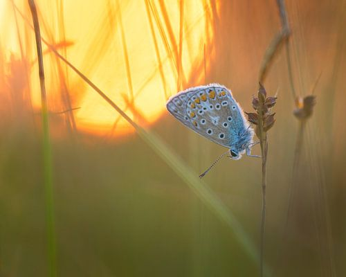 Icarusblauwtje in de ondergaande zon. van Jos Pannekoek
