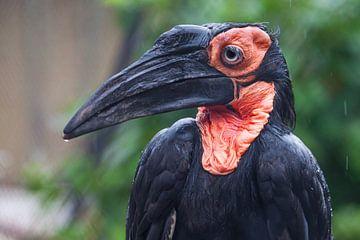 Vogel Zuidelijke grondneushoornvogel raaf met een lange snavel en zwarte definitie met een rood met  van Michael Semenov
