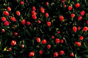 Rote Tulpen - Bollenstreek Noordwijk von Linsey Aandewiel-Marijnen