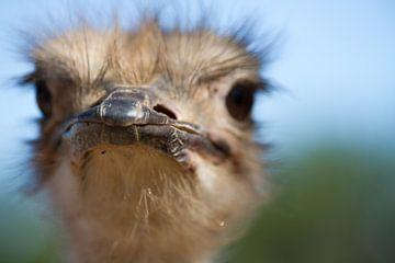 Struisvogel van Ronald Bruijniks