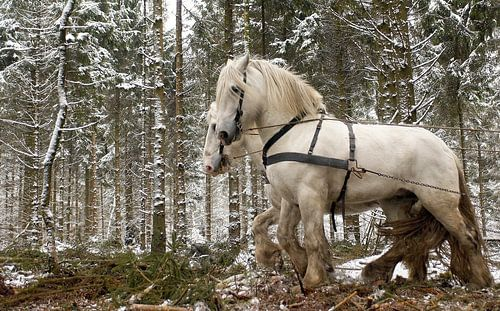 Werkpaarden in de sneeuw 5912004250 fotograaf Fred Roest van Fred Roest