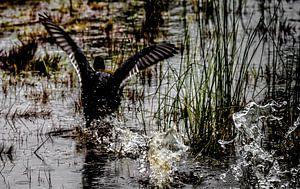 Een Canadese gans die geniet van het water van Lucas van Gemert