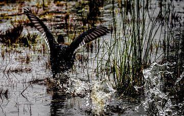 Eine Kanadagans, die das Wasser genießt von Lucas van Gemert