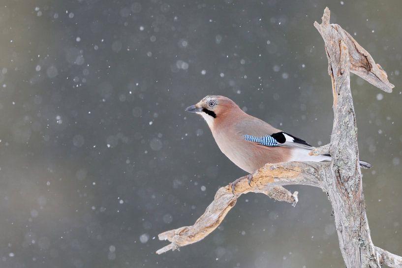 Eichelhäher ( Garrulus glandarius ) im Winter bei Schnefall auf dem Ausguck, wildlife, Europa. von wunderbare Erde