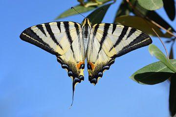 Bunter Schmetterling auf Sizilien von Ulrike Leone