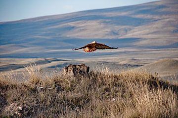 Opvliegende roofvogel bij Zorats Karer in Armenië van