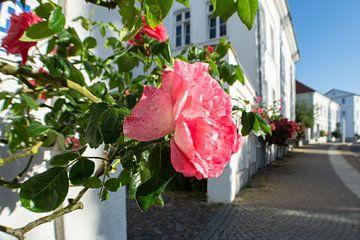 Roze hoogstamrozen bij het Circus in Putbus op het eiland Rügen van GH Foto & Artdesign