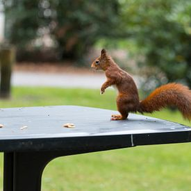 red squirrel looking for seeds and other foods and find peanuts on garden table van Compuinfoto .
