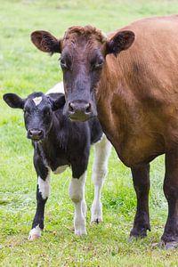 Bruine koe staat samen met bont kalf in wei