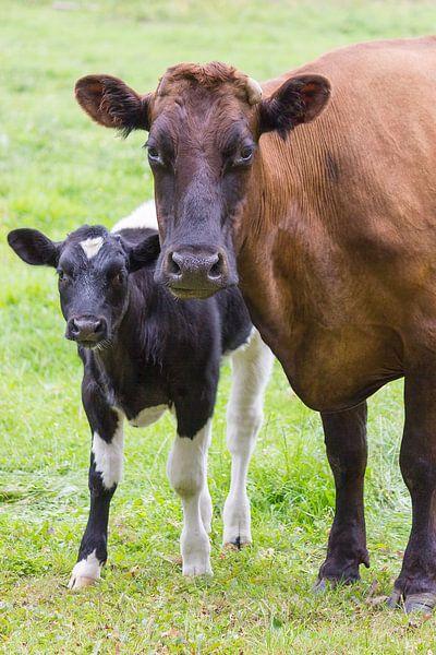 Bruine koe staat samen met bont kalf in wei van Ben Schonewille