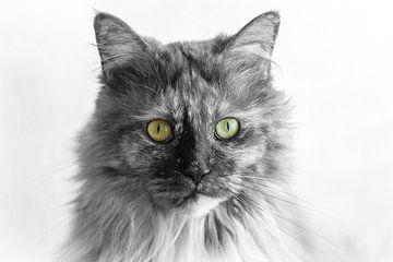 Maine Coon Katze schwarz-weiß von Jaco Verheul