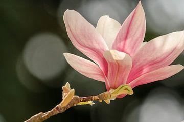 Magnolia van Mrs van Aalst
