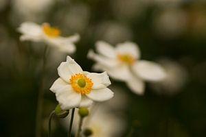 Witte herfstanemonen