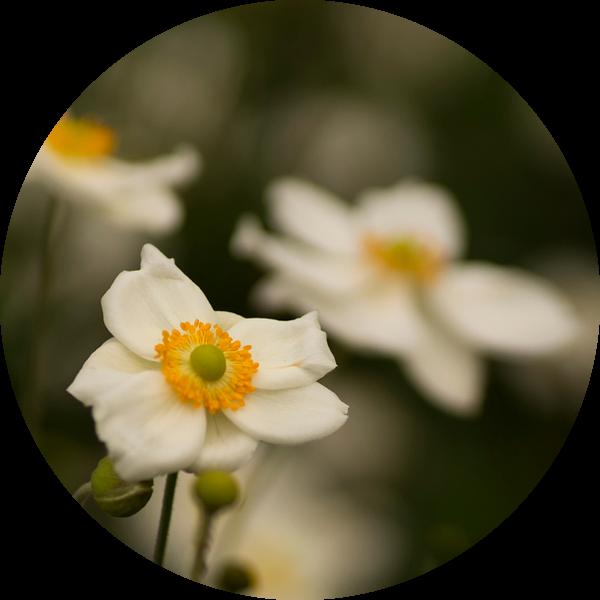 Witte herfstanemonen van Birgitte Bergman