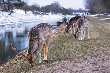 Kudde damherten in de sneeuw van Anne Zwagers