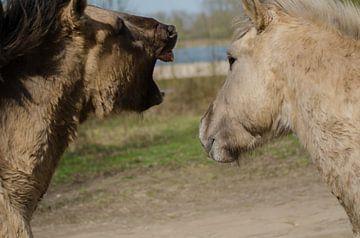 konikspaard van