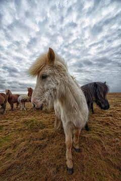 Isländische Pferde von Tilly Meijer