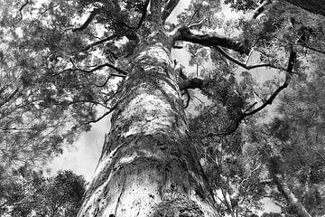 Boom in zwart-wit, Australië van