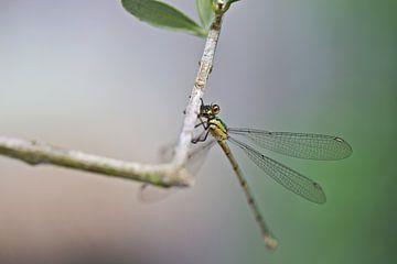 Libelle op een olijftak van Miranda van Hulst