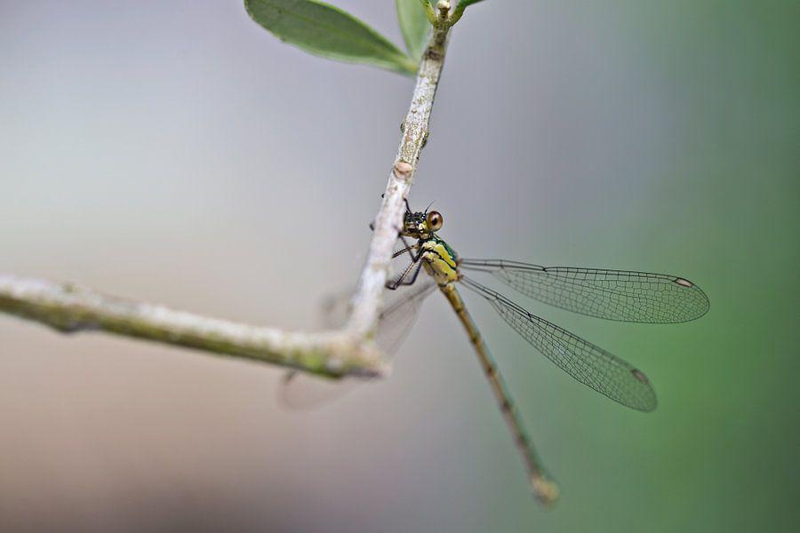 Libelle op een olijftak