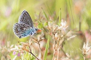 Het icarusblauwtje van Fotografie Jeronimo