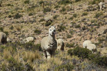 Alpaca in bergen Peru van Martin van den Berg Mandy Steehouwer